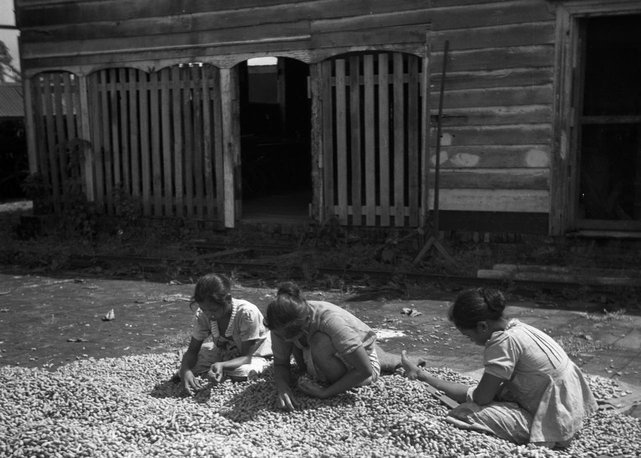 Het sorteren van pinda's in 1947